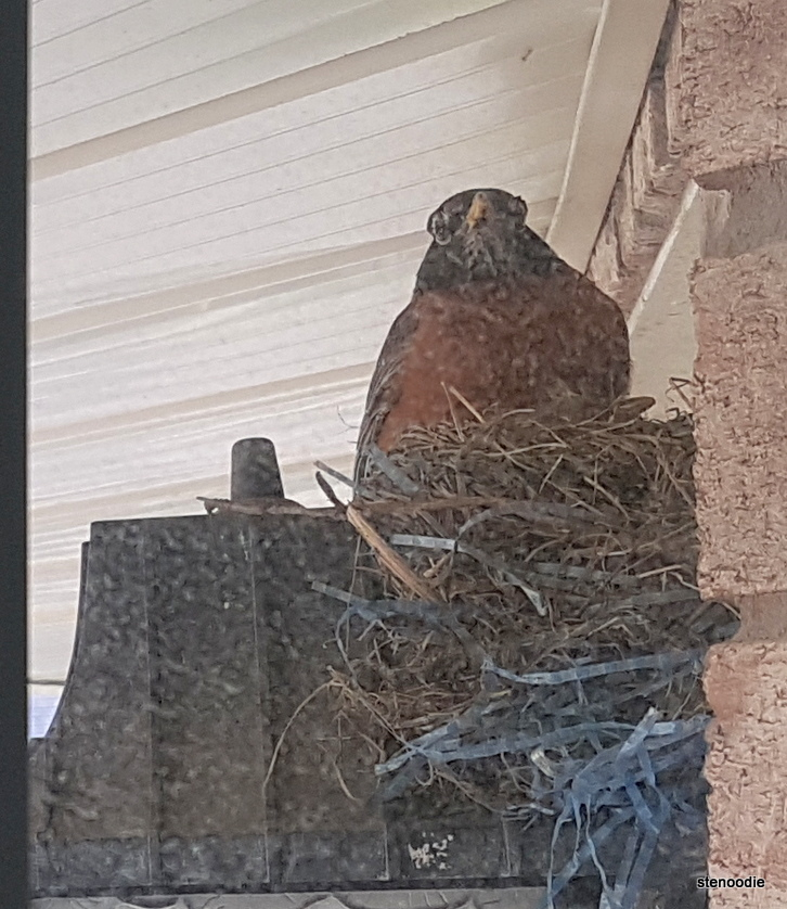 Mother robin in nest