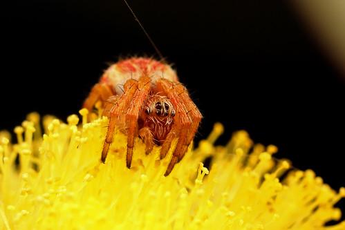 Araneus hamiltoni