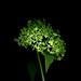 58500.02 Hydrangea paniculata 'Grandiflora' by horticultural art