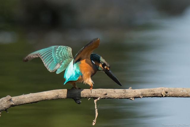 20170910-kingfisher-DSC_2451