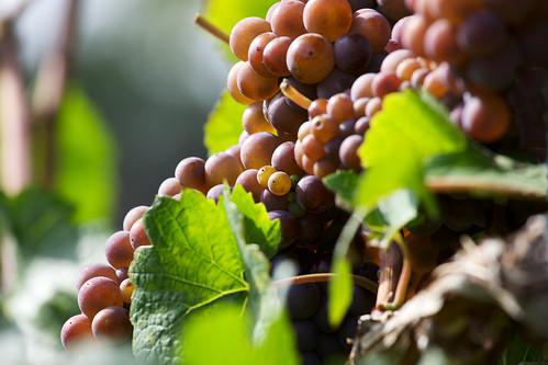 Time for grape harvest / Zeit für die Weinlese