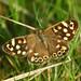 Speckled Wood Butterfly. Shibden Park, Halifax. 26/9/17.