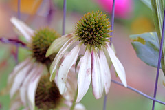 garden flowers IMG_7120