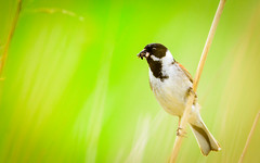 The common reed bunting (Emberiza schoeniclus)