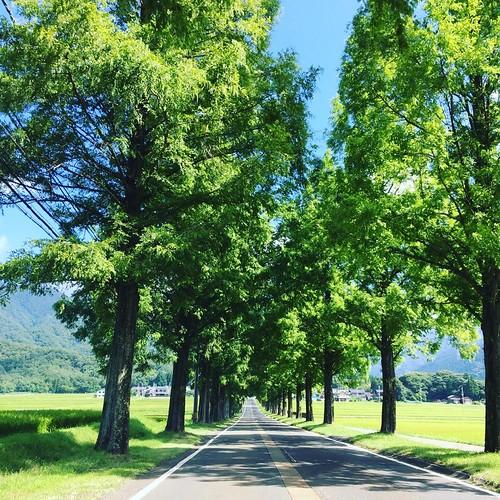 高島市マキノ高原 メタセコイア並木