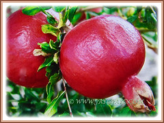 Ornamental reddish fruits of Punica granatum (Pomegranate, Buah Delima in Malay), 23 Aug 2017