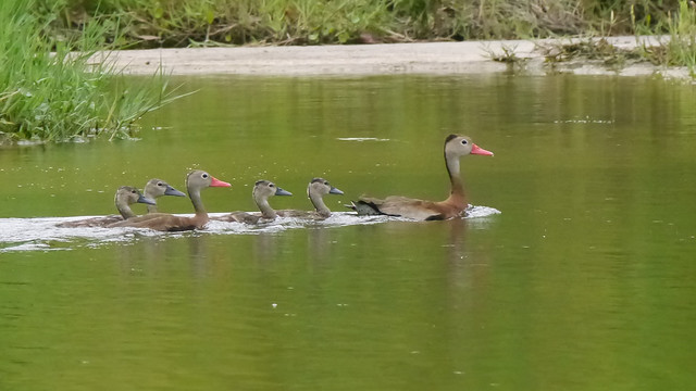 Black-bellied Whistling Duck Family - 1
