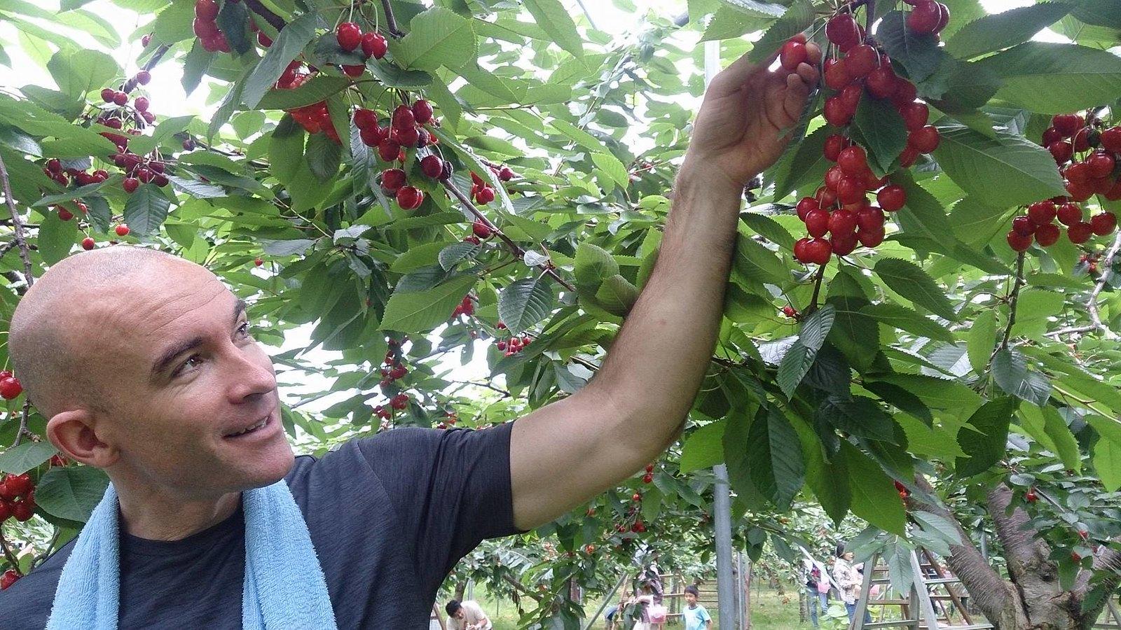 Cherry-picking at Sakuroanbo-Yama (Yoichi, Hokkaido, Japan)