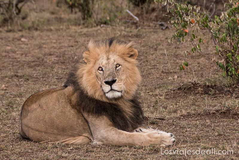 Masai Mara león
