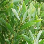 Acacia melanoxylon leaves