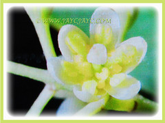 Creamy-yellow to white and star-shaped flower of Cinnamomum verum (Cinnamon, True Cinnamon, Ceylon/Cassia Cinnamon, Cinnamon Bark Tree, Kayu Manis in Malay), 17 Aug 2017