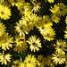 Yellow Daisies. by pat.bluey