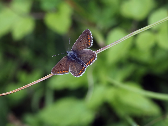 BROWN ARGUS 240817, Canon EOS 80D, Canon EF 300mm f/4L IS