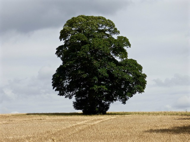 Large oak tree, Panasonic DMC-FZ72