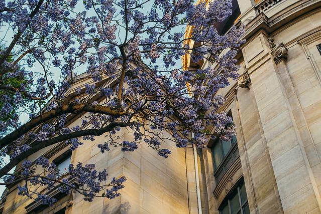 Blossom Tree in Paris
