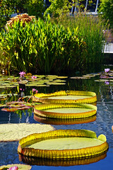 Santa Cruz waterlilies aka Victoria cruziana - New York Botanical Garden, Bronx, NYC