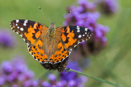 wildlife summer wings macro paintedlady butterfly nature flower vernbenum vanessacardui beauty insect palmryacovenaturepark orange color palmyra newjersey unitedstates us