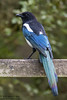 Magpie, Pica pica by Kevin B Agar