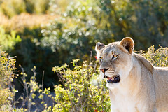 Lioness standing and staring at her prey