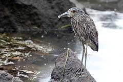 Front, Juv. Yellow-crowned Night Heron