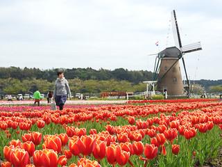 佐倉チューリップフェスタ 1 オランダ風車13