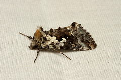 Syngrapha rectangula (Salt-and-pepper Looper Moth) - Hodges # 8942