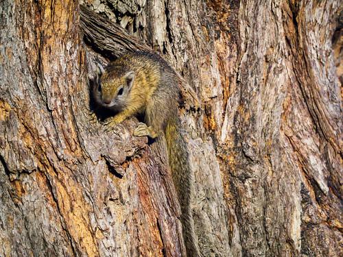 chobe mammals nature hiver réservenature juillet unstripedgroundsquirrelxerusrutilus botswana faune northwestdistrict bw