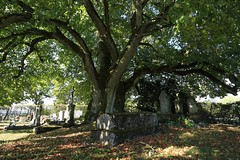 Tilleul 'de Sully' / 'Sully' Lime tree, Vaux-sous-Aubigny (France) - Photo of Boussenois