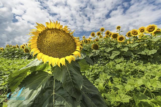 Big Daddy Sunflower
