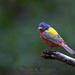 The Painted Bunting by tylerareber