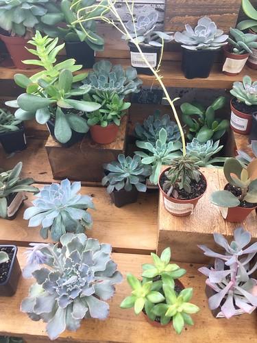 I am a sucker for succulents (Aquatopia Conservatory)