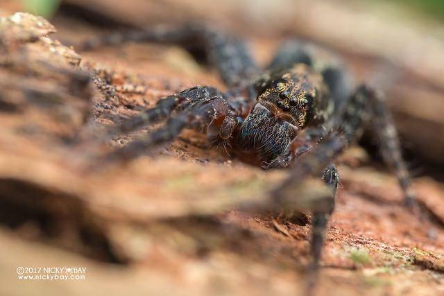Wandering spider (Ctenus sp.) - DSC_8170