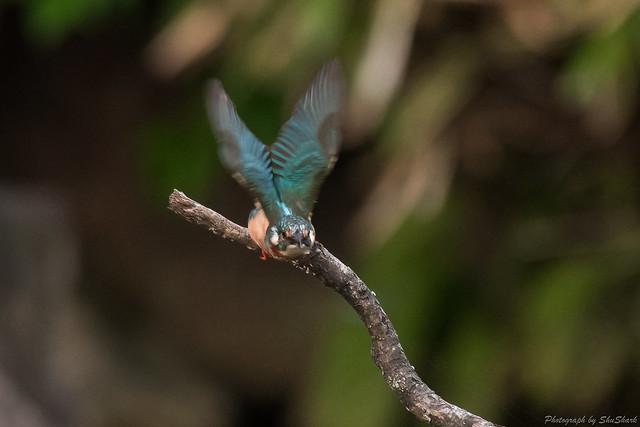 20170901-Kingfisher-DSC_1379