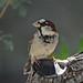 House Sparrow Posing