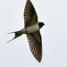 Swallow RSPB Silverdale D210bob DSC_5504