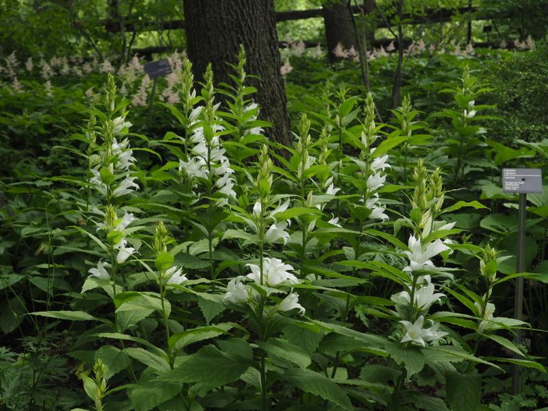 Campanule latifolia macrantha vous l'avez? 36295313546_aff7494872_o