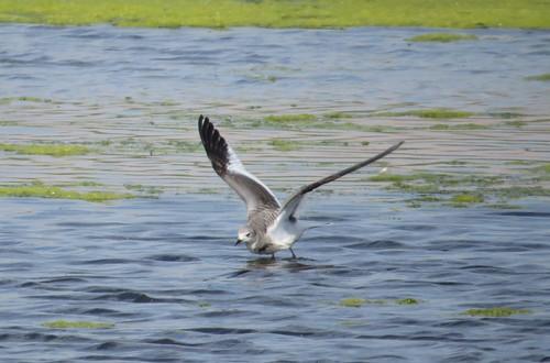 kevinlucas norbertspond sabinesgull yakimacountyrarebird yakimararebird rarebird nass karenramey jenniehodge juvenile gull