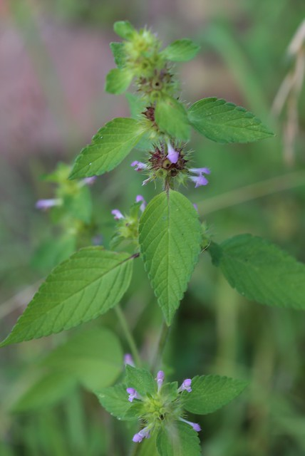 Common Hemp Nettle - Pulborought to Petworth