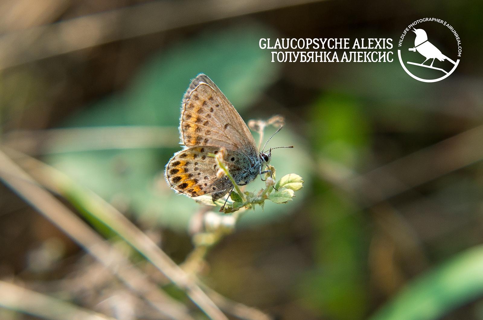 Glaucopsyche alexis // 20170915