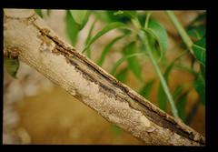 マンゴーのかいよう病(枝の亀裂症状)