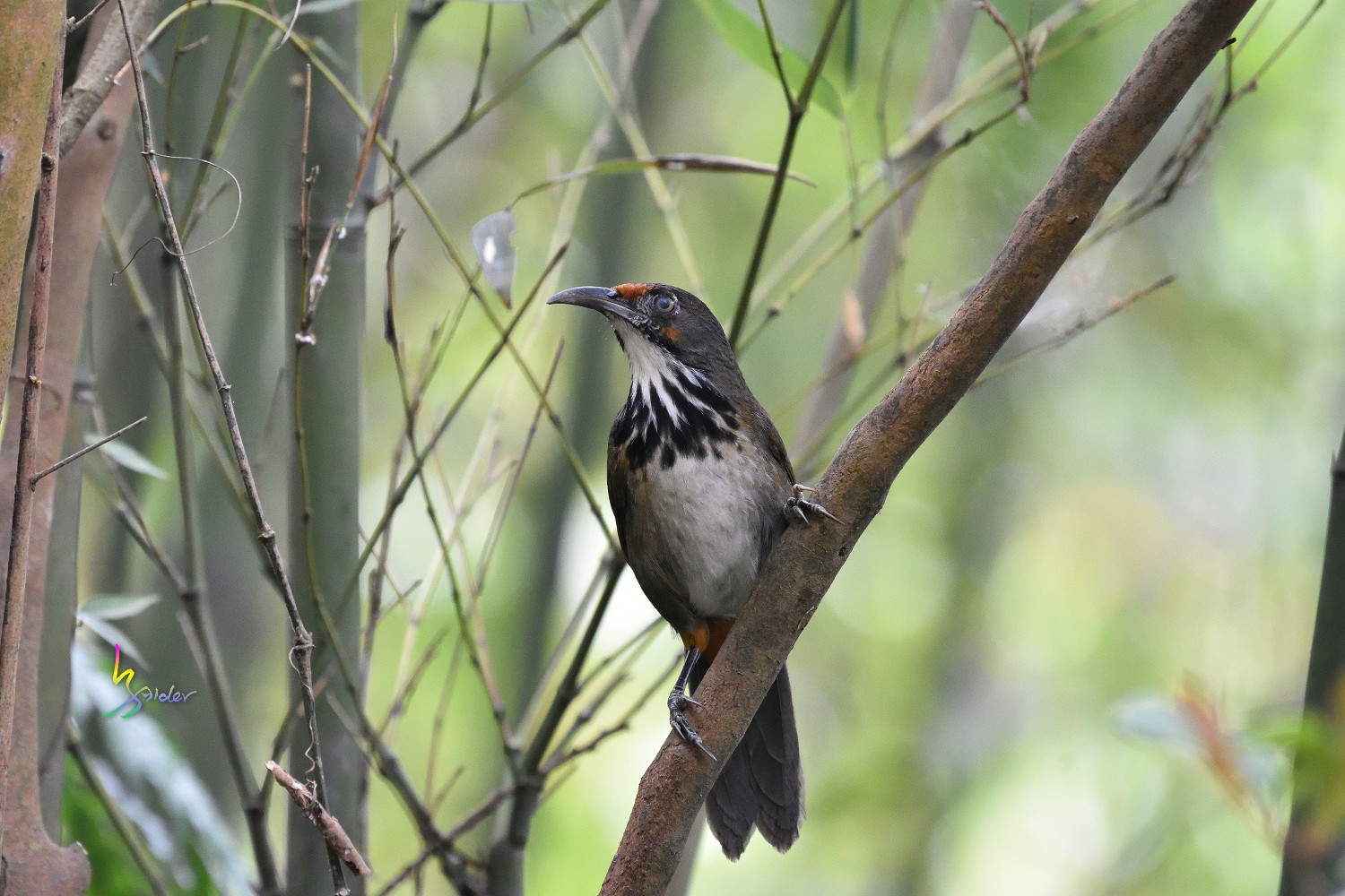 Rusty-cheeked_Scimitar_Babbler_2041