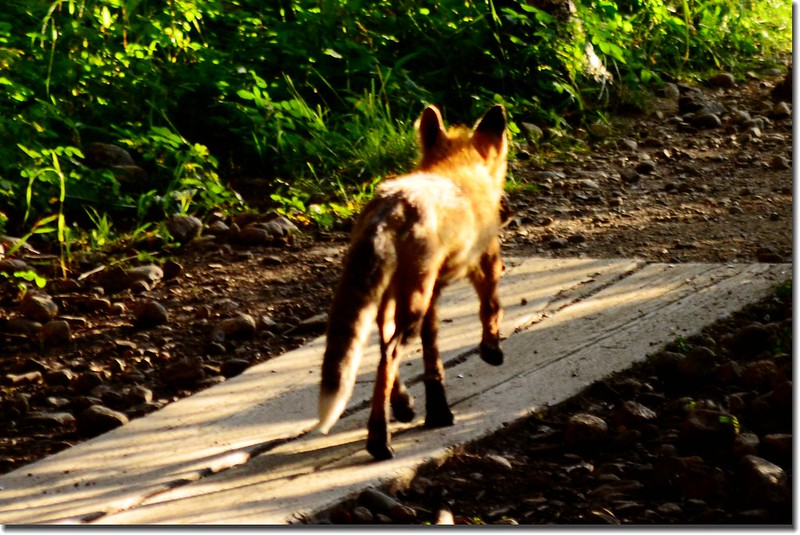 Fox on the trail 1