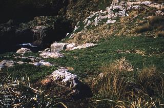 Mokohinau Island. House gull colony. Disphyma, Mariscus, Scirpus. 1957