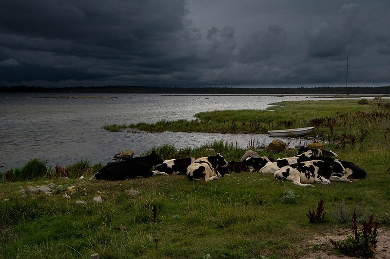 Cows and bad weather
