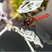Ruddy Darter (Sympetrum sanguineum) Dragonfly M