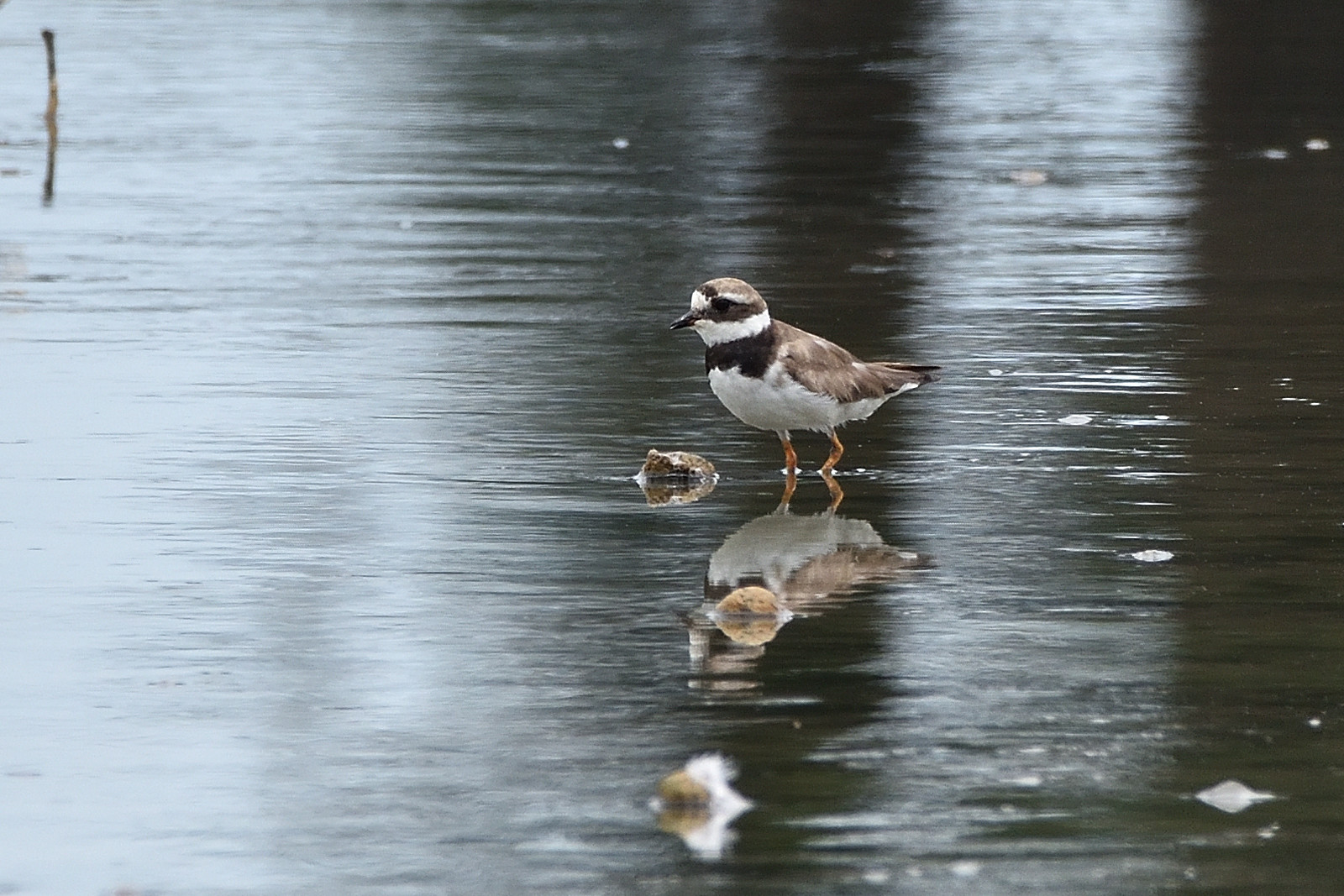 Common_Ringed_Plover_5640_O