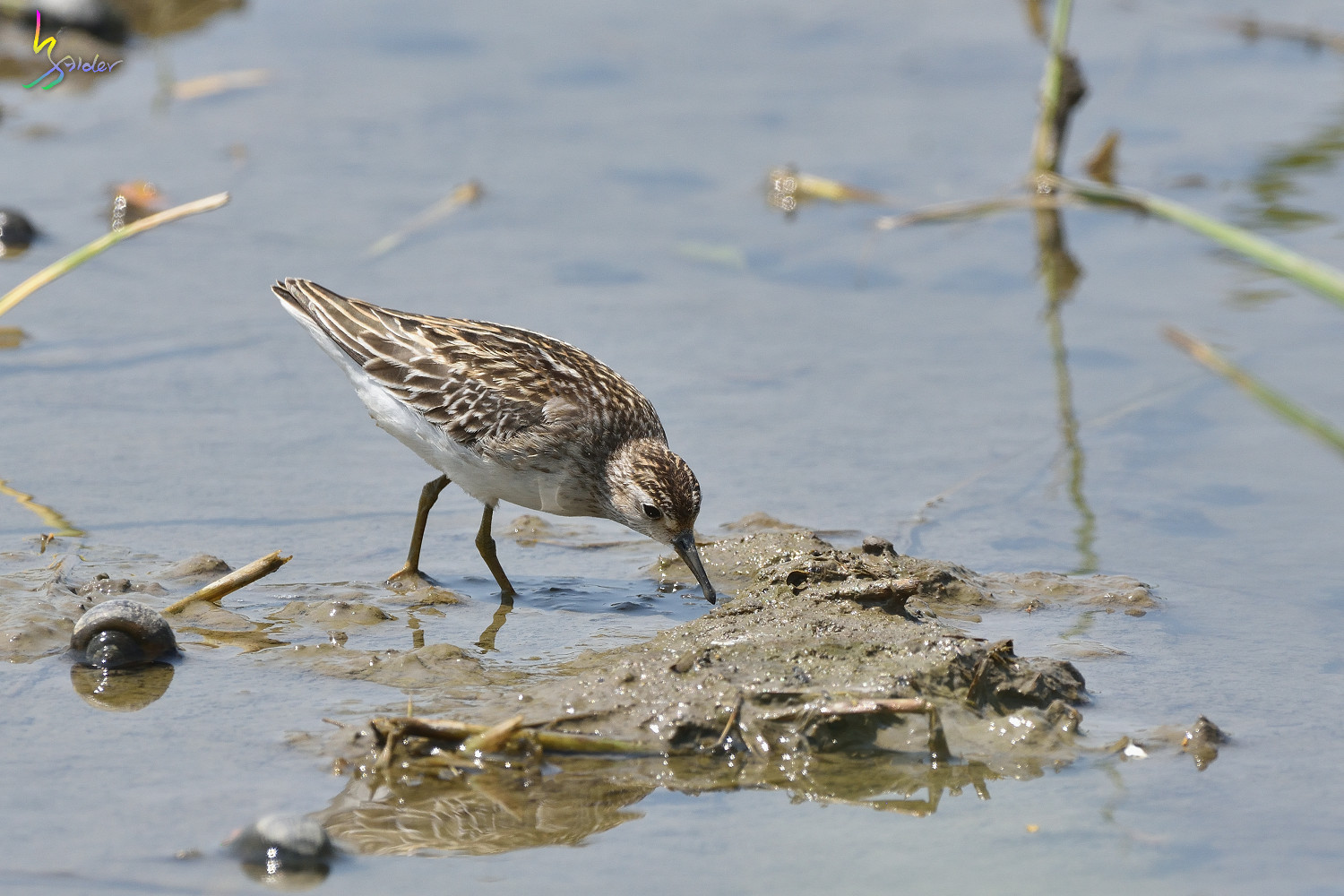 Long-toed_Stint_7431