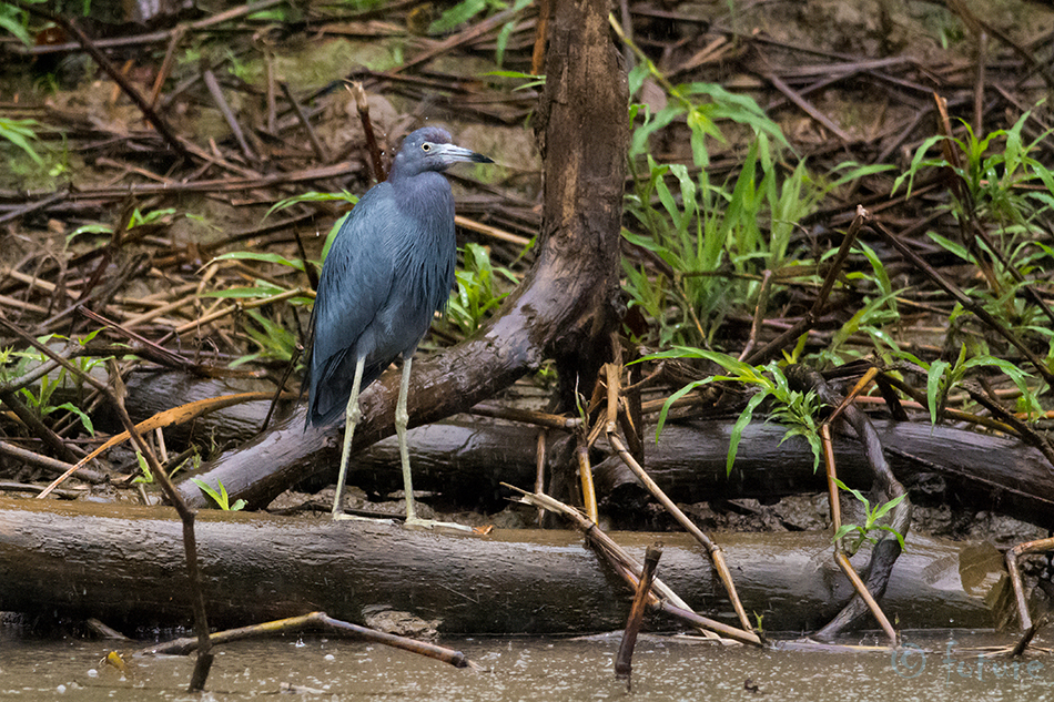 Sinihaigur, Egretta, caerulea, Florida, Little, Blue, Heron, Caño, Negro, Wetland, Costa Rica, Kaido Rummel