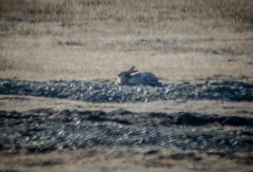 Wild Rabbits on San Juan Island-003