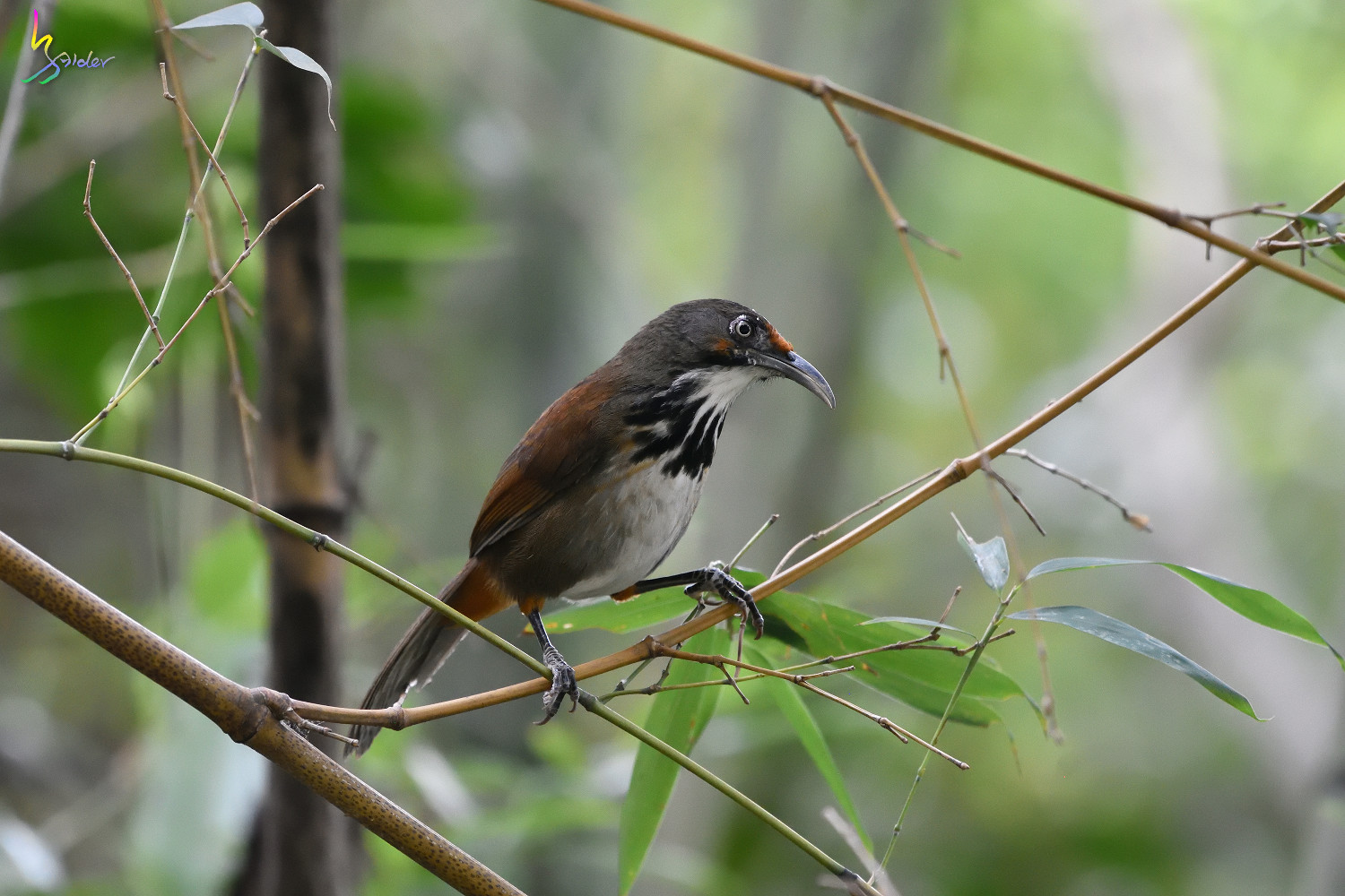 Rusty-cheeked_Scimitar_Babbler_1991